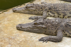 Two crocodiles Stock Photo
