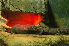 Two crocodiles bask in a fiery cave. Crocodiles are heated under an infrared lamp. Moscow zoo royalty free stock photo