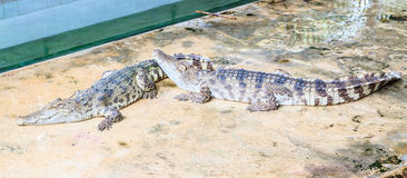 Two crocodiles Royalty Free Stock Photography