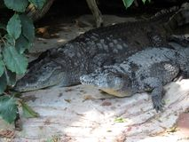 Two Crocodiles. Laying side by side in the shade royalty free stock photos