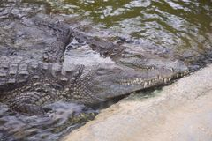 Two crocodiles lying together water embrasing skin wildlife loving royalty free stock images