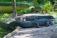 Two crocodiles resting on waterside. Stock Photos