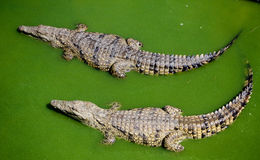 Two Crocodiles Swimming Side By Side. In dirty Green Water Royalty Free Stock Photography