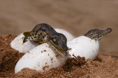 Two crocs hatching from eggs. Two Nile Crocodiles hatching from their eggs royalty free stock images