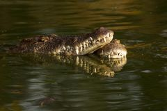 Two Crocs under water and mouths touching Royalty Free Stock Photography