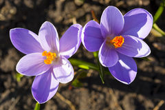 Two crocus flower. Royalty Free Stock Photo