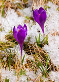 Two Crocuses On The Snow Royalty Free Stock Image