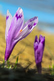 Two crocuses, selective focus Stock Image