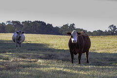 Two crossbred commercial cows in a pasture. Two crossbred commercial cows in a dormant bermuda grass pasture in November Stock Images