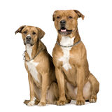 Two crossbreed dogs. In front of a white background stock photo