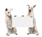 Two Crossbreed dogs sitting and holding Royalty Free Stock Photo