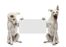 Two Crossbreed dogs sitting and holding Stock Photos