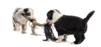 Two crossbreed puppies playing with a rope. Isolated on white royalty free stock photos
