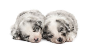 Two crossbreed puppies sleeping relax isolated on white. Two young crossbreed dogs sleeping relax isolated on white Stock Photography