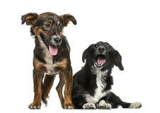 Two Crossbreeds Royalty Free Stock Photo