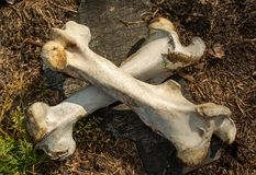 Two crossed bones at the abandoned old cattle farm in the lost village. In Ukraine stock photos