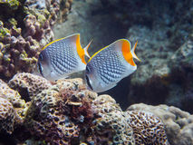 Two Crosshatch Butterflyfish royalty free stock image