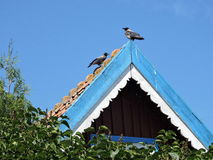 Two crow birds, Lithuania Stock Images