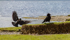 Two crow birds on Lake Derwent Water shore, Keswick, UK. Two crow birds on the shore of Lake Derwent Water in Keswick, Cumbria, UK Royalty Free Stock Photo