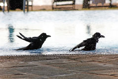 Two crow in the pool Royalty Free Stock Image