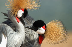 Two crowned crane Royalty Free Stock Photos