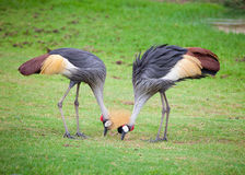 Two crowned crane Royalty Free Stock Images