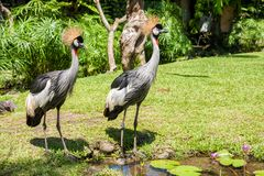 Two Crowned Crane Balearica regulorum. Two Crowned Cranes Balearica regulorum near the water-lily pond stock photography