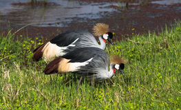 Two crowned crane. Royalty Free Stock Photo