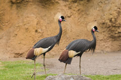 Two crowned crane on green grass Stock Photography