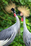 Two Crowned Cranes. In apparent conversation Stock Photography