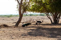 Two crowned cranes Balearica regulorum are walking in a safari park on Sir Bani Yas Island, Abu Dhabi, United Arab Emirates stock photos