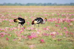 Two Crowned Cranes among Pink Flowers Stock Photos