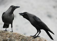 Two crows Royalty Free Stock Image