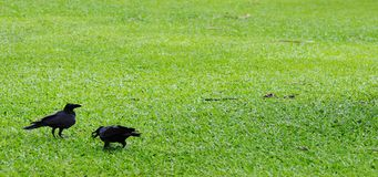 Two Crows. Stock Images