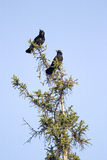 Two crows. On a treetop looking left royalty free stock photos