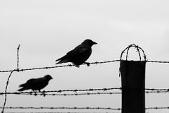 Two crows on the barb wire fence Stock Photos