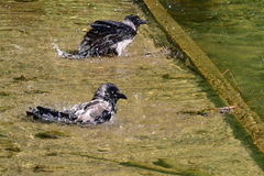 Two crows bathe in the river Stock Images