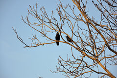 Two crows on branches Royalty Free Stock Images