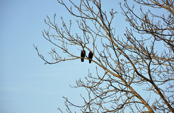 Two crows on branches Royalty Free Stock Image