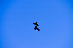 Two crows fighting in the blue sky Royalty Free Stock Image