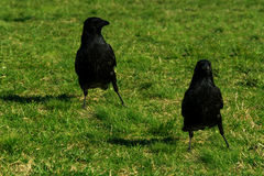 Two crows on green grass Royalty Free Stock Photos