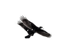 Two crows in mid flight Stock Photography