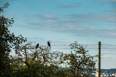 Two crows on a tree. Two crows on a pale tree on the field Stock Image