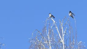 Two crows sitting on birch treetop