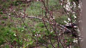 Two Crows are sitting on a Blossoming Apricot and Eat Blooming Flower. White flowers on the branches of the apricot tree blossomed in the spring on a nature stock video footage