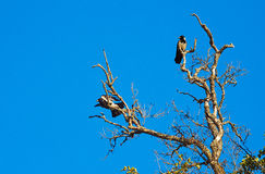 Two crows sitting on the dry tree Stock Photography