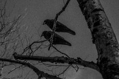 Two Crows. In a tree Stock Photo
