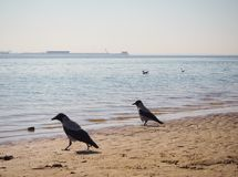 Two crows are walking on the beach royalty free stock photo