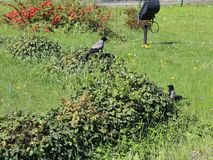 Two crows walking on the grass stock video