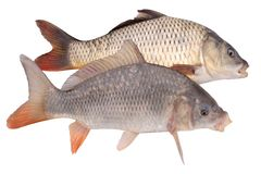 Two of crucian carp fish isolate. Two of middle size crucian carp fish isolate royalty free stock image